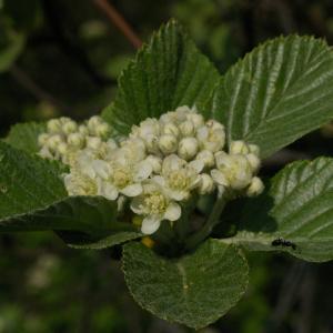 Photographie n°38130 du taxon Sorbus aria (L.) Crantz