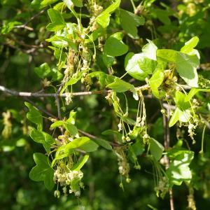 Photographie n°38141 du taxon Acer monspessulanum L. [1753]