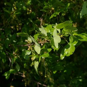Photographie n°38142 du taxon Acer monspessulanum L. [1753]