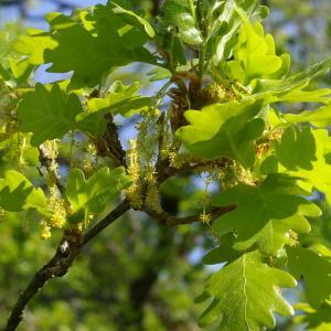 Photographie n°38184 du taxon Quercus pubescens Willd. [1805]