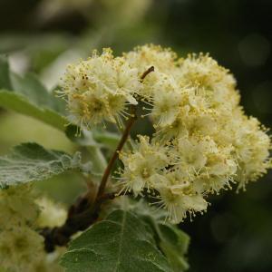 Photographie n°38222 du taxon Sorbus intermedia (Ehrh.) Pers. [1806]