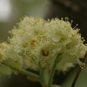 Photographie n°38223 du taxon Sorbus intermedia (Ehrh.) Pers. [1806]