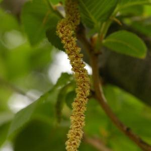 Photographie n°38238 du taxon Ostrya carpinifolia Scop. [1772]