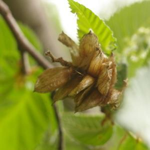 Photographie n°38241 du taxon Ostrya carpinifolia Scop. [1772]