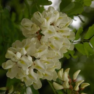 Photographie n°38251 du taxon Robinia pseudoacacia L.
