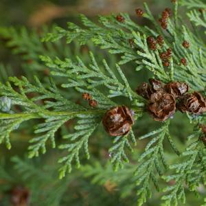 Chamaecyparis lawsoniana (A.Murray) Parl. (Cyprès de Lawson)