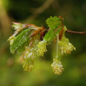 Photographie n°38272 du taxon Fagus sylvatica L.