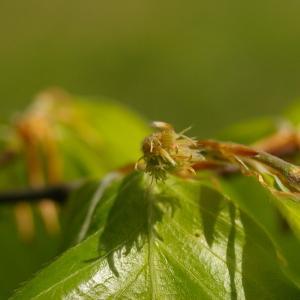 Photographie n°38278 du taxon Fagus sylvatica L.