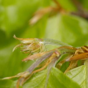 Photographie n°38279 du taxon Fagus sylvatica L.