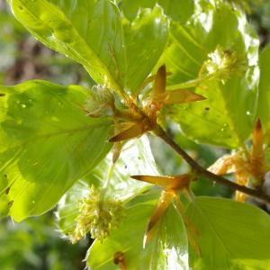 Photographie n°38324 du taxon Fagus sylvatica L.