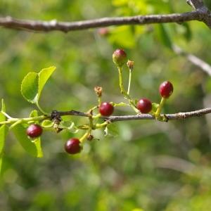 Photographie n°38412 du taxon Prunus mahaleb L.