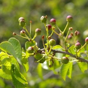 Photographie n°38413 du taxon Prunus mahaleb L.