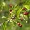 Michel POURCHET  - Prunus mahaleb L.