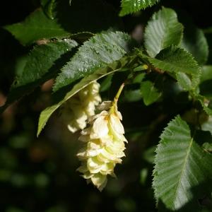 Photographie n°38440 du taxon Ostrya carpinifolia Scop. [1772]