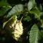 Michel POURCHET  - Ostrya carpinifolia Scop. [1772]