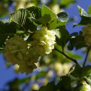 Ostrya carpinifolia Scop. (Charme-houblon)