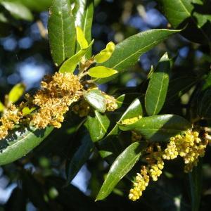 Photographie n°38446 du taxon Quercus ilex L. [1753]