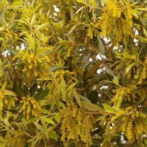 Photographie n°38464 du taxon Quercus ilex L. [1753]