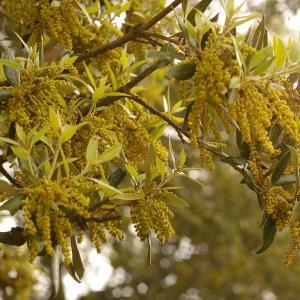 Photographie n°38465 du taxon Quercus ilex L. [1753]