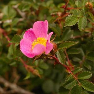 Photographie n°38471 du taxon Rosa canina L. [1753]