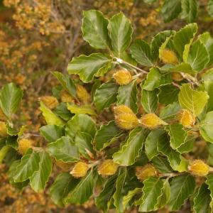 Photographie n°38473 du taxon Fagus sylvatica L.