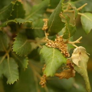 Photographie n°38477 du taxon Quercus suber L. [1753]