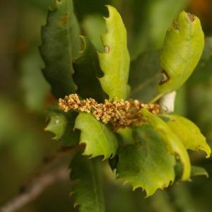 Quercus suber L. (Chêne-liège)