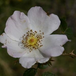 Photographie n°38492 du taxon Rosa canina L. [1753]