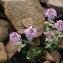 John De Vos - Noccaea rotundifolia (L.) Moench