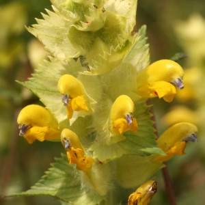 Photographie n°38514 du taxon Rhinanthus alectorolophus (Scop.) Pollich [1777]