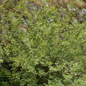 Photographie n°38526 du taxon Alnus alnobetula subsp. suaveolens (Req.) Lambinon & Kerguélen [1988]