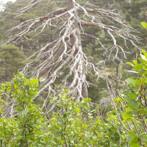 - Alnus alnobetula subsp. suaveolens (Req.) Lambinon & Kerguélen [1988]