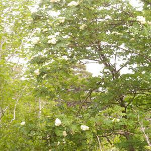 Photographie n°38535 du taxon Sorbus aucuparia subsp. praemorsa (Guss.) Nyman [1879]