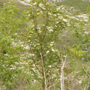 Photographie n°38536 du taxon Sorbus aucuparia subsp. praemorsa (Guss.) Nyman [1879]