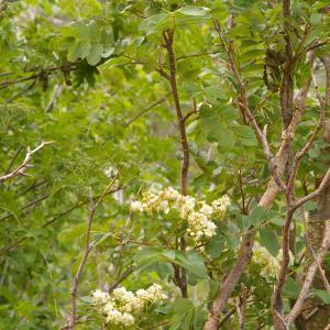 Photographie n°38538 du taxon Sorbus aucuparia subsp. praemorsa (Guss.) Nyman [1879]