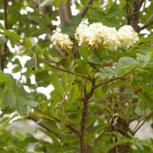 Photographie n°38539 du taxon Sorbus aucuparia subsp. praemorsa (Guss.) Nyman [1879]
