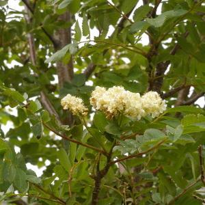 Photographie n°38540 du taxon Sorbus aucuparia subsp. praemorsa (Guss.) Nyman [1879]