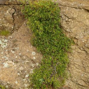 Photographie n°38558 du taxon Acer monspessulanum L. [1753]