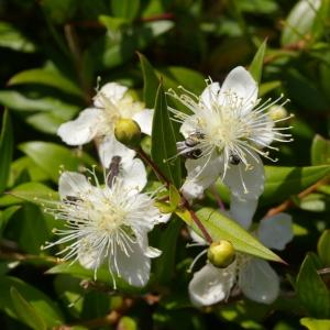 Photographie n°38575 du taxon Myrtus communis L. [1753]