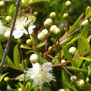 Photographie n°38576 du taxon Myrtus communis L. [1753]