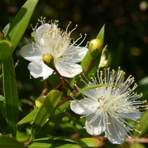 Photographie n°38577 du taxon Myrtus communis L. [1753]