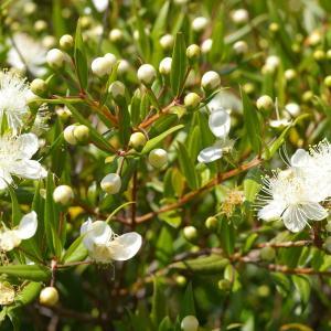 Photographie n°38578 du taxon Myrtus communis L. [1753]