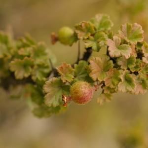 Photographie n°38642 du taxon Ribes uva-crispa L. [1753]