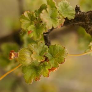 Photographie n°38643 du taxon Ribes uva-crispa L. [1753]