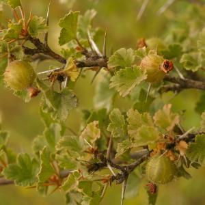 Photographie n°38644 du taxon Ribes uva-crispa L. [1753]