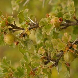 Photographie n°38645 du taxon Ribes uva-crispa L. [1753]