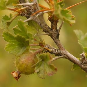 Photographie n°38646 du taxon Ribes uva-crispa L. [1753]