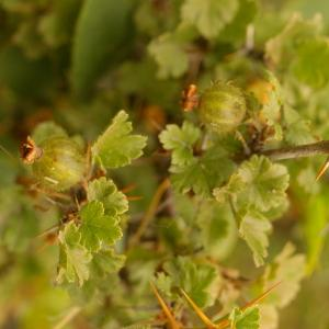 Photographie n°38647 du taxon Ribes uva-crispa L. [1753]