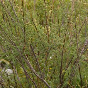 Photographie n°38680 du taxon Myricaria germanica (L.) Desv. [1824]