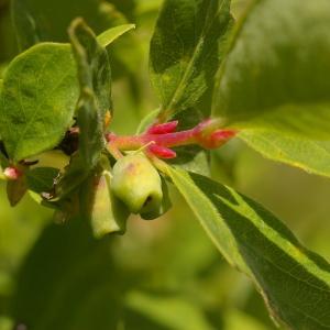 Photographie n°38707 du taxon Lonicera caerulea L. [1753]